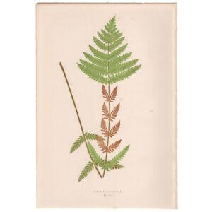 Lowe Exotic Ferns antique 1872 botanical print, Pl 2 Osmunda Claytoniana