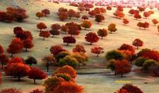 101 Graines Erable tronqué 'Acer truncatum Bunge' tree seeds