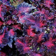 *Rare Exotic* Black Dragon Leaf Coleus Fresh Seeds From Canada