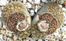 Mesemb Seed-Lithops hallii (brown form) C135-20 Seeds