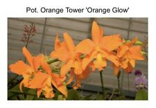 Pot Orange Tower 'Orange' X What About Love 'Brilliant' Repotted (15) 6342