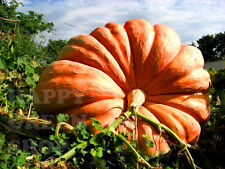 VEGETABLE - PUMPKIN DILLS - ATLANTIC GIANT - 24 SEEDS - MONSTER PUMPKIN