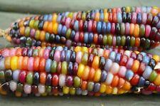 Organic Vegetable 20 Glass GEM Corn Seeds Maize