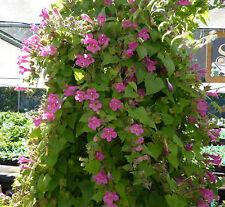 Lophospermum Erubescens Pink Flower Vine/Climbing Foxglove Seeds