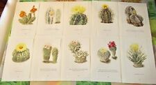 10 illustration Botanique Walter Kuper Cactus Lophophora Williamsii