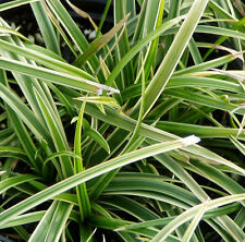 'Ice Dance' Sedge 25 Plants in 3-1/2 inch Pots FREE SHIPPING