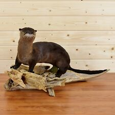 River Otter Taxidermy Mount - SW3721