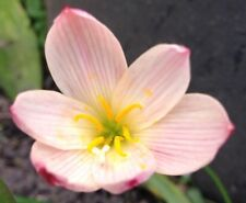 "Zephyranthes/Rainlily "" Sunset Strain"" ,,,pretty Flowers Gorgeous !!!!"