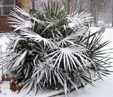 10 Graines-Palmier Aiguille-Rhapidophyllum Hystrix