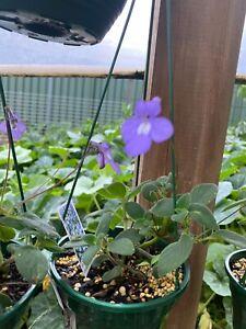 Streptocarpus Nodding Violet  hanging basket flowering indoor outdoor