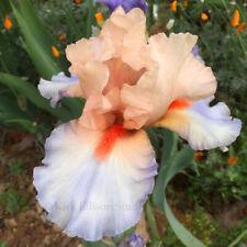"Tall Bearded Iris Rhizome ""French Cancan"""