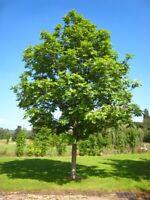 20pcs Ash Fraxinus Tree Seeds Mixed Bonsai Deciduous Plant Garden Decor Leaves