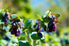 Cerinthe 5 semi, honeywort, Blu Kiwi-Look Esotico