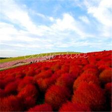 100X Heirloom Seed Grass Burning Bush Kochia Scoparia Red Flower Home Garden