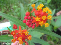 Das Blütenwunder Asclepias curassavica: wunderschöne gelbe Sumpf-Seidenpflanze
