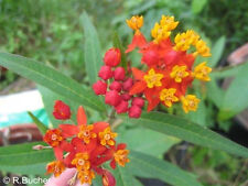 Wunderbare bunte Vielfalt: die schöne Seiden-Sumpf-Blume !
