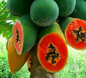 Guangxin 10 PCS Seeds Green Skin Red Inside Papaya Fruits Bonsai Organic Plant I
