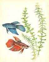 Antique Tropical Aquarium Fish Print  Siamese Fighting Fish Art Print  3379-26