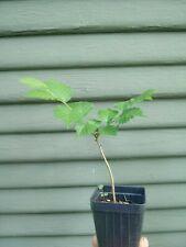 Bonsai tree - rare Wych Elm (Ulmus glabra) pre-bonsai  seedling