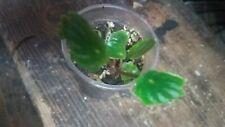 Peperomia Argyreia, Watermelon plant, houseplant