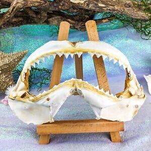 "45c Taxidermy oddities curiosities Bull Shark Jaw teeth Nautical Fish 12+"""