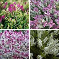 4 Plant Pack Mixed Hebe Evergreen Garden Shrub Colour Variety