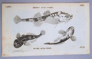 Bull-Head Fish Print - 1776 Antique Copper Plate Engraving - B & W - Pennant.