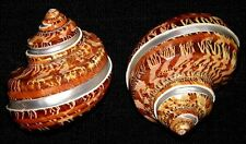"Banded Tapestry Turbo Turban Pentholatus Shell~2-1/2""~Craft Seashell (2 Shells)"