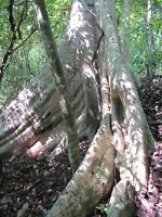 100 Samen Adina cordifolia, Kadam, Haldina