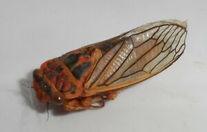 Homoptera, Cicadidae sp. (orange species from Chaco)