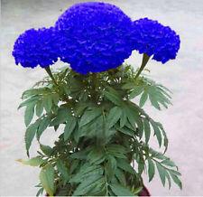 200Pcs Rare Maidenhair Flower Blue Marigold Seeds Home Garden Edible Plant Seed