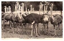 Ostriches at Pasadena California Postcard