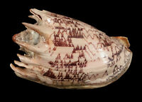 NICE 6 1/4 INCH CONCH SHELL SEASHELL UNKNOWN SPECIES JAGGED BROWN PATTERNS