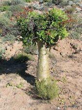 BUTTER TREE (Tylecodon paniculatus) 20 seeds