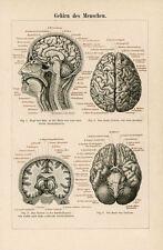 Incorniciato stampa-ANTIQUARIATO 1994 tedesco ANATOMIA PICTURE cervello umano (Arte medica)