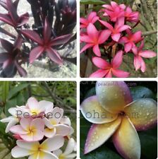 4 Plumeria Combo 8-12 Inch Cuts 4 Beautiful Plants Some Two Tips Combo #2