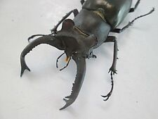 21578.Unmounted insects: Lucanus Ngheanus Okuda. Central Vietnam. 56mm. big size