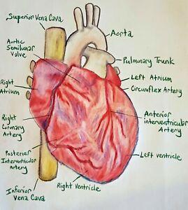 Anatomy of Heart Medical Art Print 8x10 Signed by Artist Kimberly Helgeson Sams