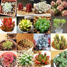 100x Rare Mixed Succulents Seeds Easy To Grow Potted Flower Seeds Bonsai Seeds