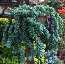 """10 pcs .Cutting leaf's Succulent Sedum Morganianum """"Rabbit's Tail """" Plant"""