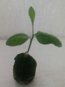 Lemon Tree, Citrus limon eureka Plug Plant.