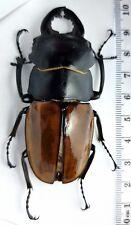 Lucanidae Odontolabis castelnaudi castelnaudi Malaysia, Borneo ~80mm