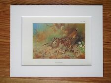 Archibald Thorburn - Woodcock - Mounted Vintage 1920 Bird Print (145)