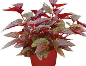 """Angelwing Begonia """"Benigo Pink""""  Well Rooted Starter Plant*SHIP WITHOUT POT"""