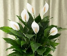 """Beautiful Peace Lily Live Root Plant 6""""to8"""" Tall Great House Plant White Flower"""