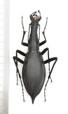 CARABIDAE Damaster blaptoides blaptoides 63mm From Japan
