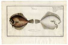 Fische-Angeln-Kupferstich Bloch 1782 Das Viereck-Glatbutt Fisch
