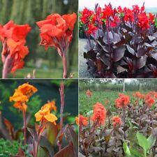 100 Samen Indisches Blumenrohr Mix - Canna indica - Canna Lily seeds