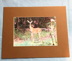Deer, Photo in Nature, Color, Original Photograph. New, 5x7.