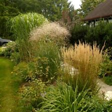 HARDY ORNAMENTAL GRASS MIX Miscanthus Floridulus Fountain Feather Reed 20 Seeds